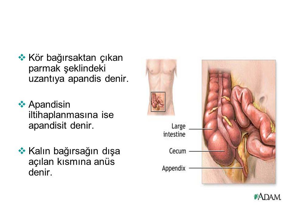 Kör bağırsaktan çıkan parmak şeklindeki uzantıya apandis denir.