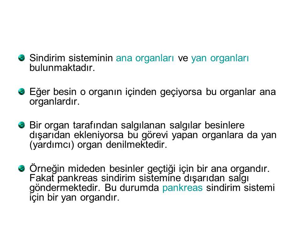 Sindirim sisteminin ana organları ve yan organları bulunmaktadır.