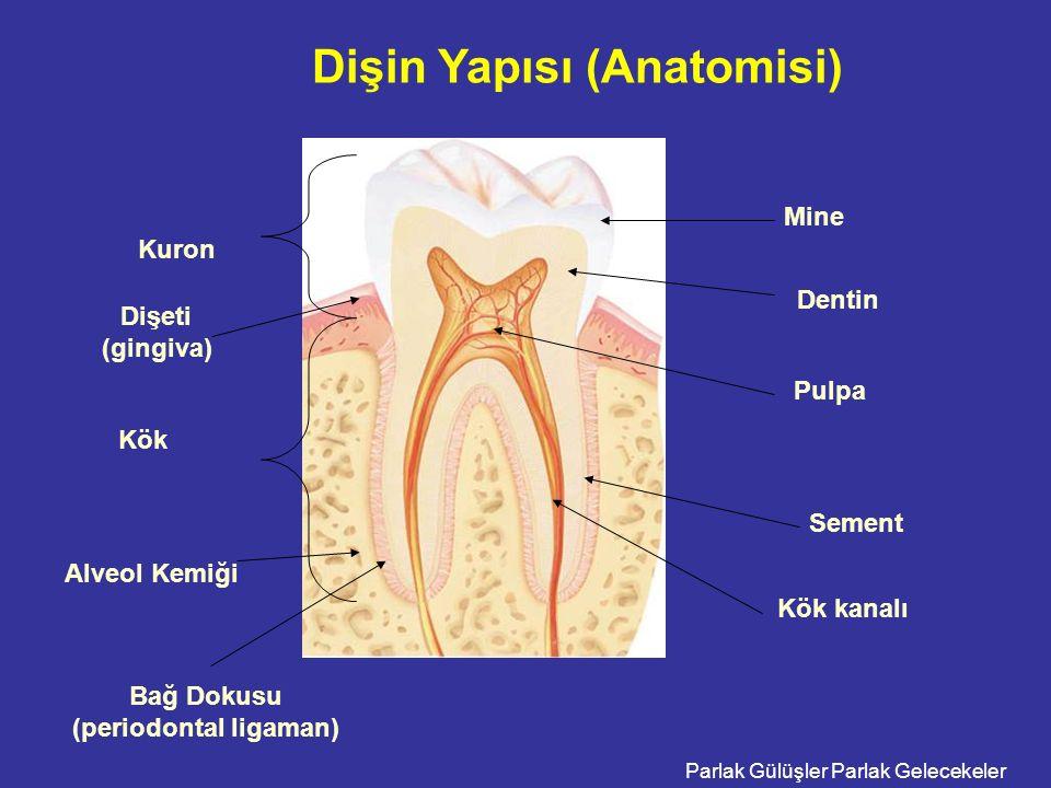 Dişin Yapısı (Anatomisi)