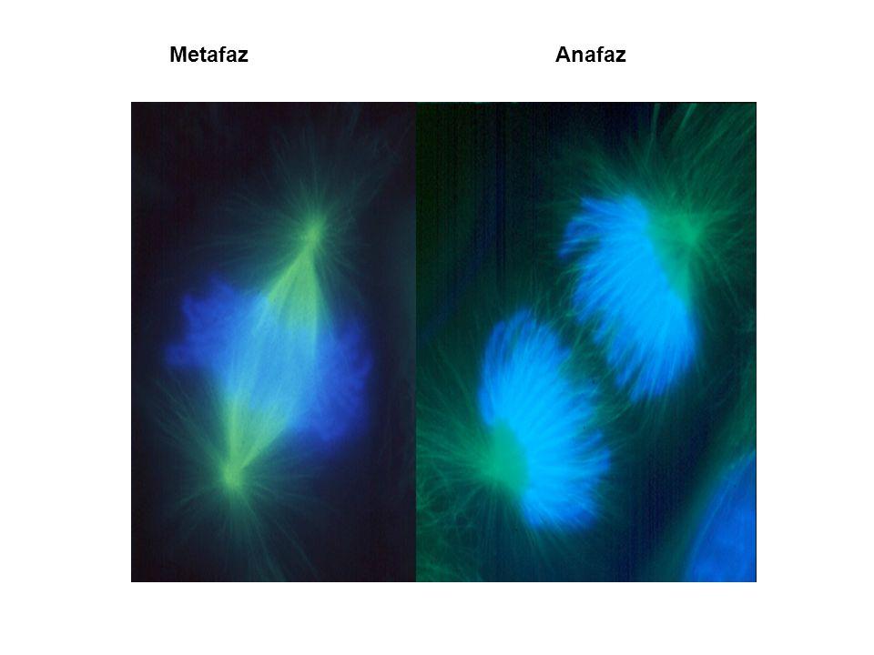 Metafaz Anafaz