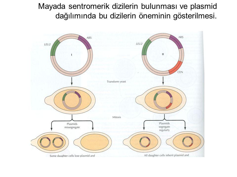 Mayada sentromerik dizilerin bulunması ve plasmid dağılımında bu dizilerin öneminin gösterilmesi.
