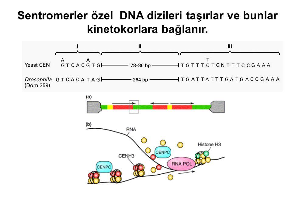 Sentromerler özel DNA dizileri taşırlar ve bunlar kinetokorlara bağlanır.