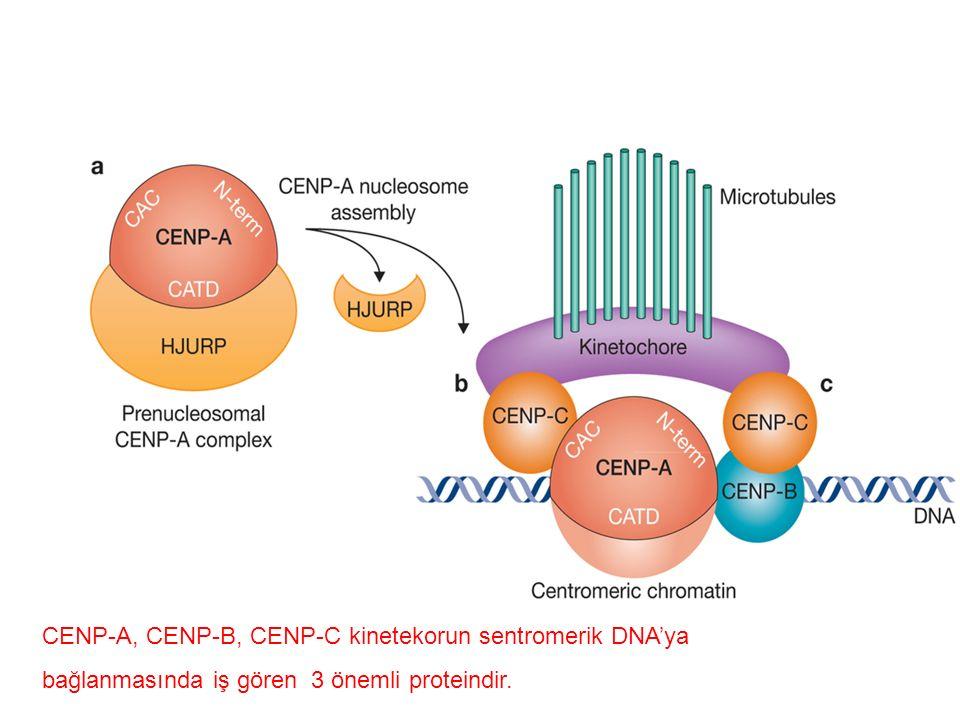 CENP-A, CENP-B, CENP-C kinetekorun sentromerik DNA'ya