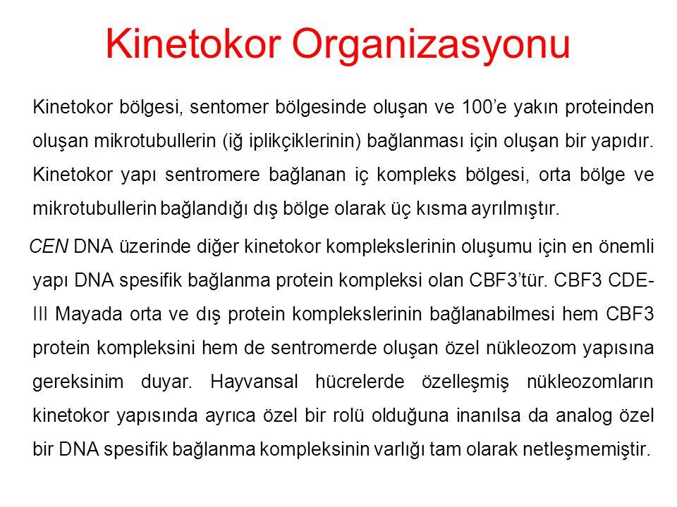 Kinetokor Organizasyonu