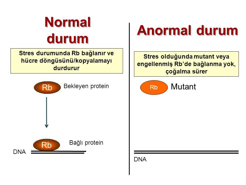 Stres durumunda Rb bağlanır ve hücre döngüsünü/kopyalamayı durdurur