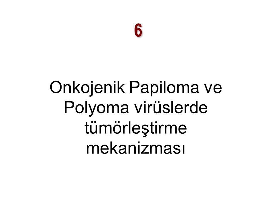Onkojenik Papiloma ve Polyoma virüslerde tümörleştirme mekanizması
