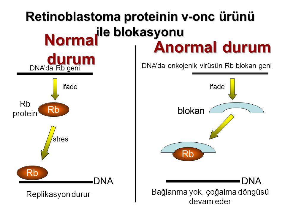 Retinoblastoma proteinin v-onc ürünü ile blokasyonu