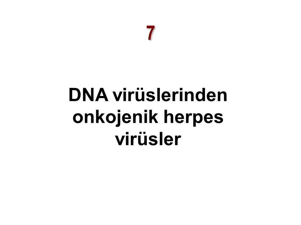 DNA virüslerinden onkojenik herpes virüsler