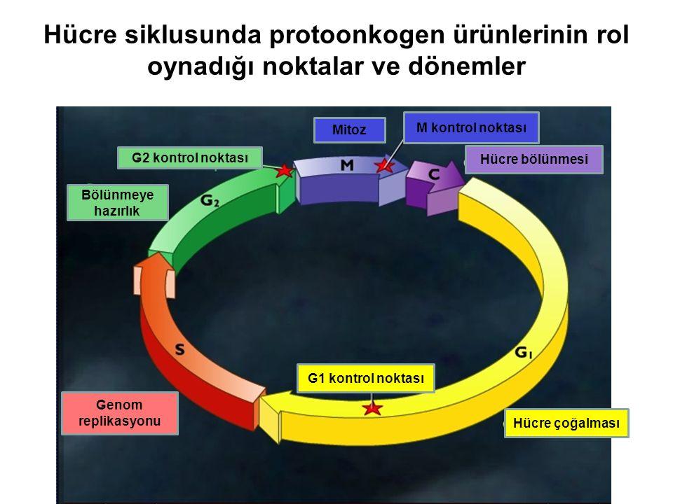 Hücre siklusunda protoonkogen ürünlerinin rol oynadığı noktalar ve dönemler