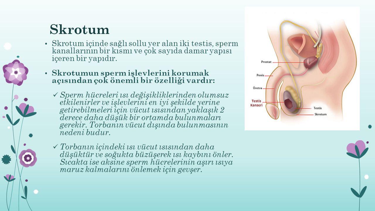 Skrotum Skrotum içinde sağlı sollu yer alan iki testis, sperm kanallarının bir kısmı ve çok sayıda damar yapısı içeren bir yapıdır.