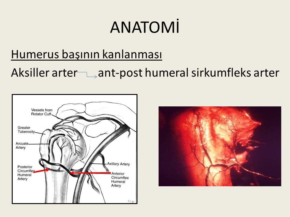 ANATOMİ Humerus başının kanlanması Aksiller arter ant-post humeral sirkumfleks arter