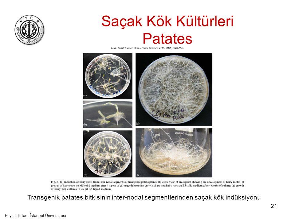 Saçak Kök Kültürleri Patates