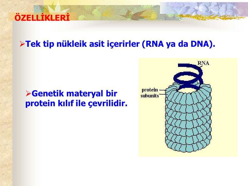 ÖZELLİKLERİ Tek tip nükleik asit içerirler (RNA ya da DNA).