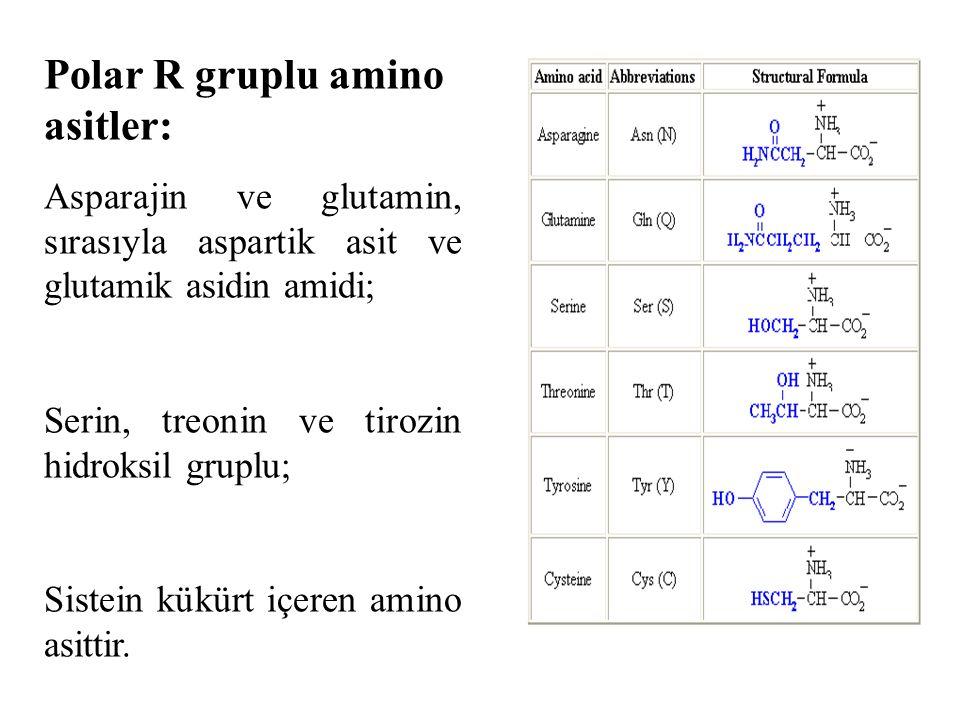 Polar R gruplu amino asitler: