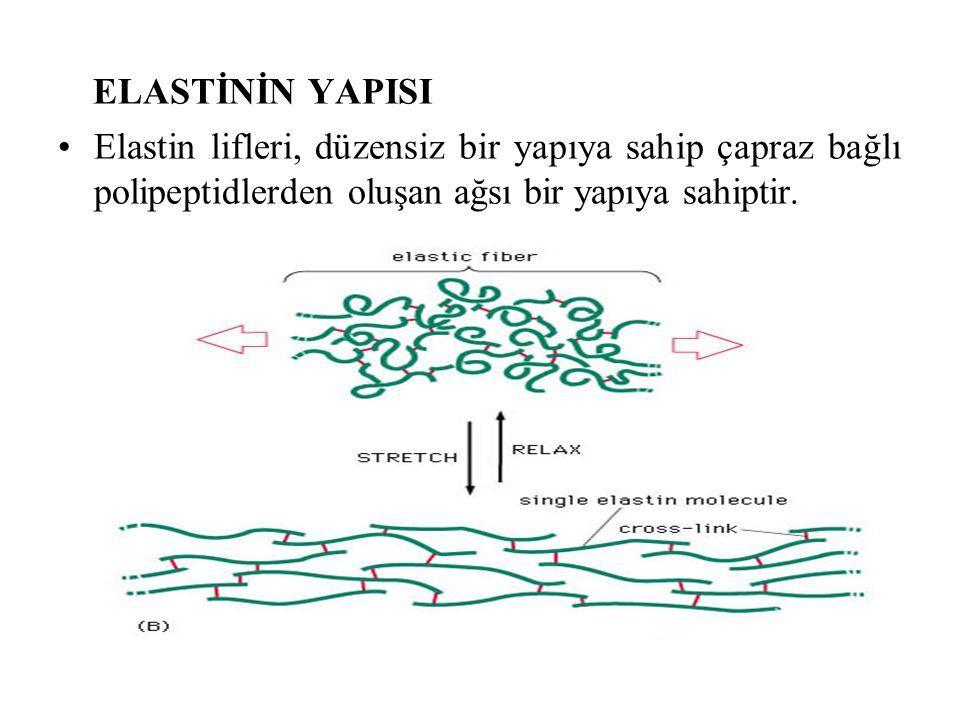 ELASTİNİN YAPISI Elastin lifleri, düzensiz bir yapıya sahip çapraz bağlı polipeptidlerden oluşan ağsı bir yapıya sahiptir.