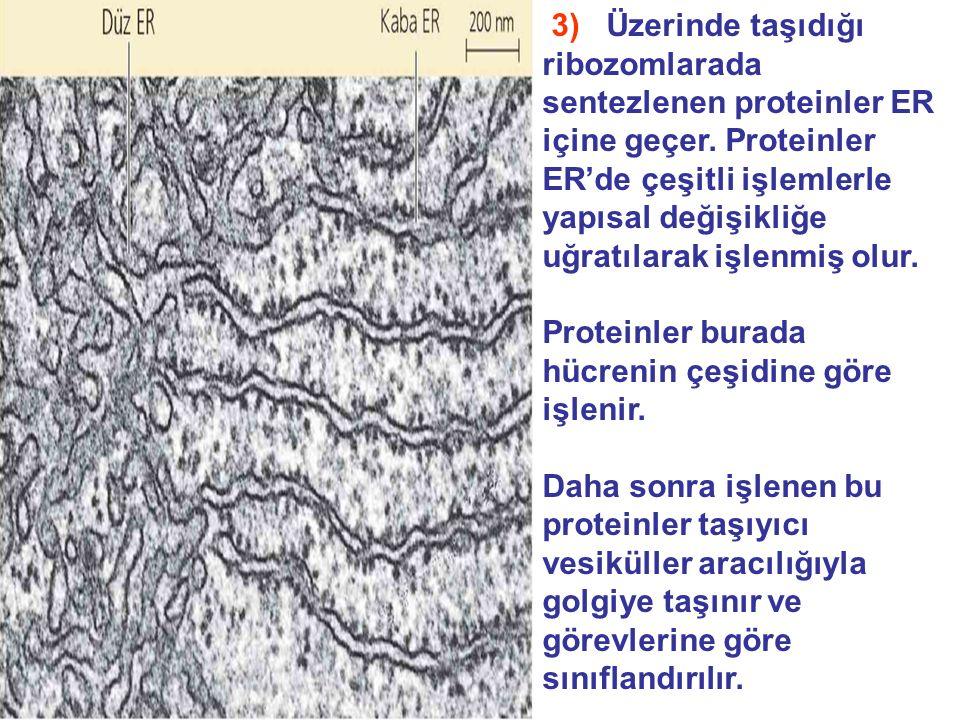 3) Üzerinde taşıdığı ribozomlarada sentezlenen proteinler ER içine geçer. Proteinler ER'de çeşitli işlemlerle yapısal değişikliğe uğratılarak işlenmiş olur.