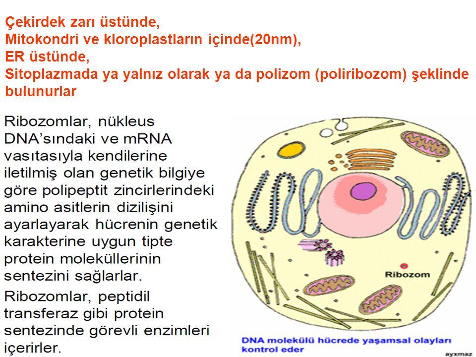 Çekirdek zarı üstünde, Mitokondri ve kloroplastların içinde(20nm), ER üstünde, Sitoplazmada ya yalnız olarak ya da polizom (poliribozom) şeklinde.