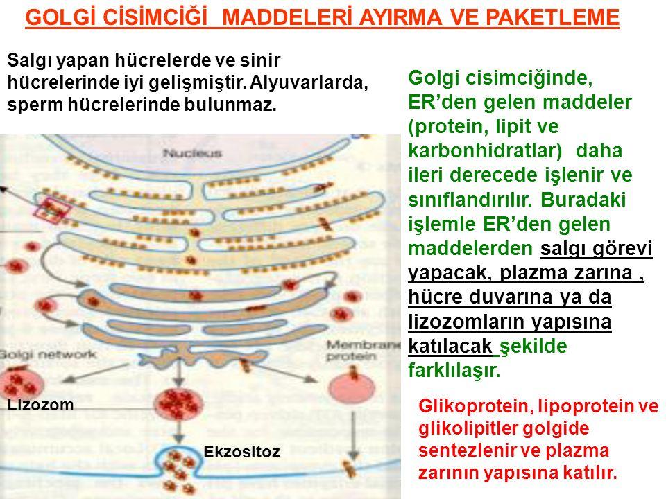 GOLGİ CİSİMCİĞİ MADDELERİ AYIRMA VE PAKETLEME