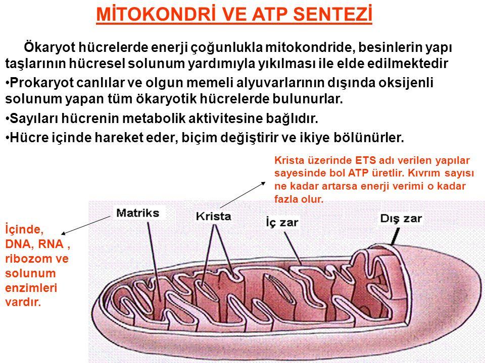 MİTOKONDRİ VE ATP SENTEZİ