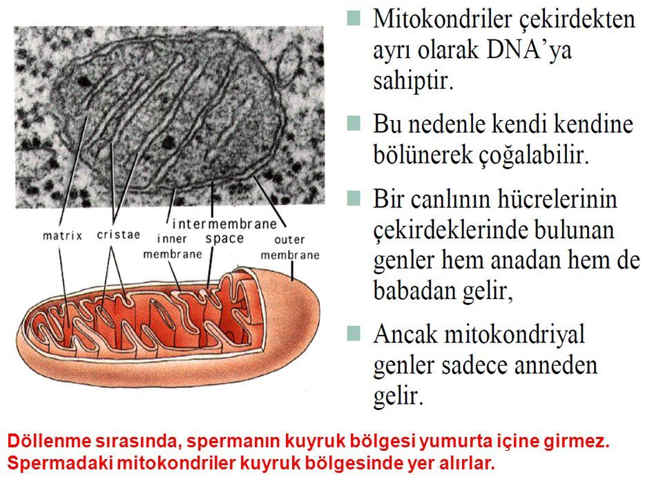 Döllenme sırasında, spermanın kuyruk bölgesi yumurta içine girmez