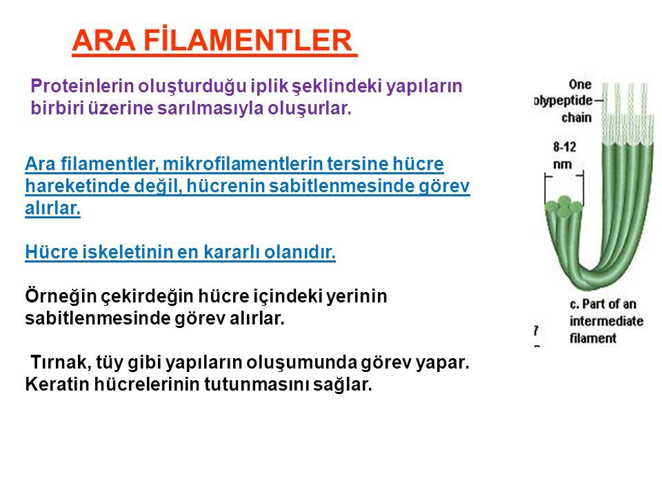 ARA FİLAMENTLER Proteinlerin oluşturduğu iplik şeklindeki yapıların birbiri üzerine sarılmasıyla oluşurlar.