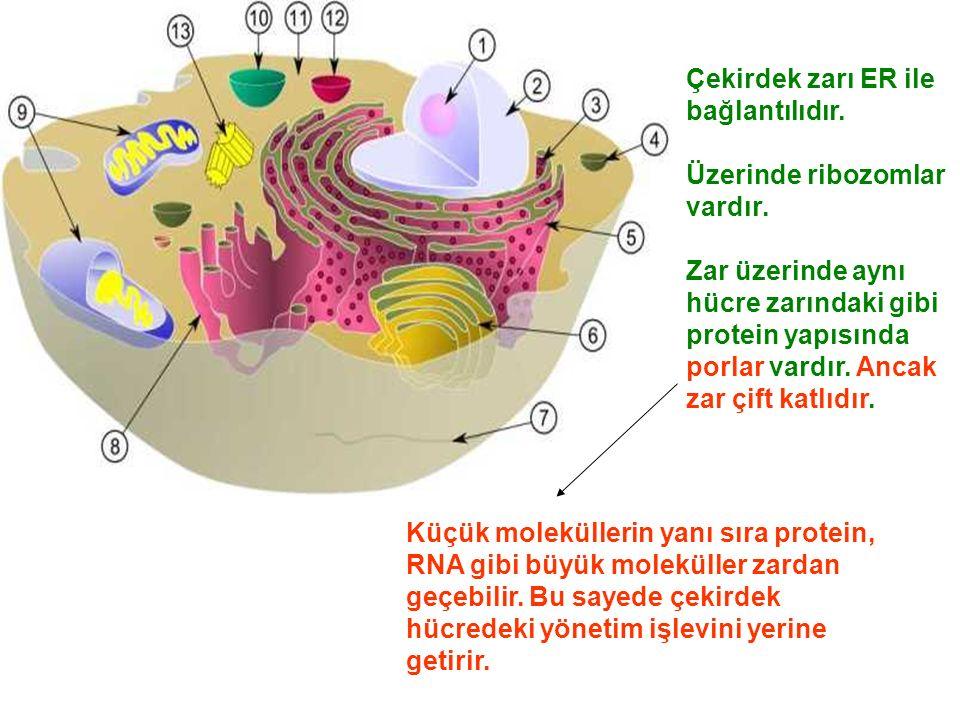 Çekirdek zarı ER ile bağlantılıdır.