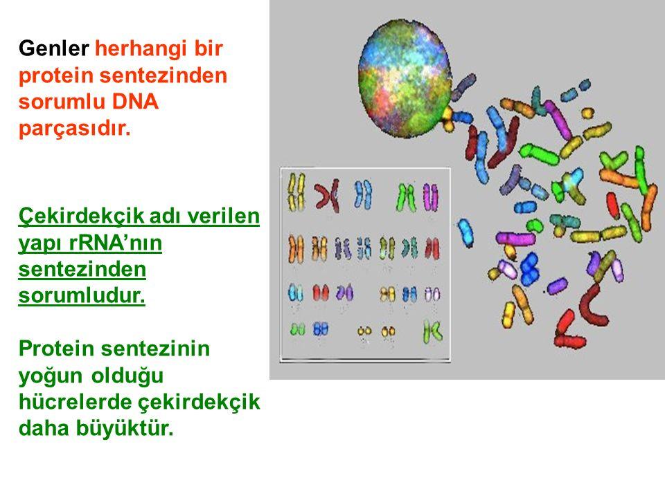 Genler herhangi bir protein sentezinden sorumlu DNA parçasıdır.