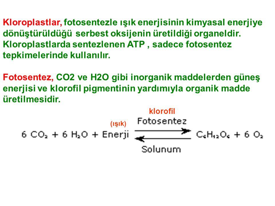 Kloroplastlar, fotosentezle ışık enerjisinin kimyasal enerjiye dönüştürüldüğü serbest oksijenin üretildiği organeldir. Kloroplastlarda sentezlenen ATP , sadece fotosentez tepkimelerinde kullanılır.