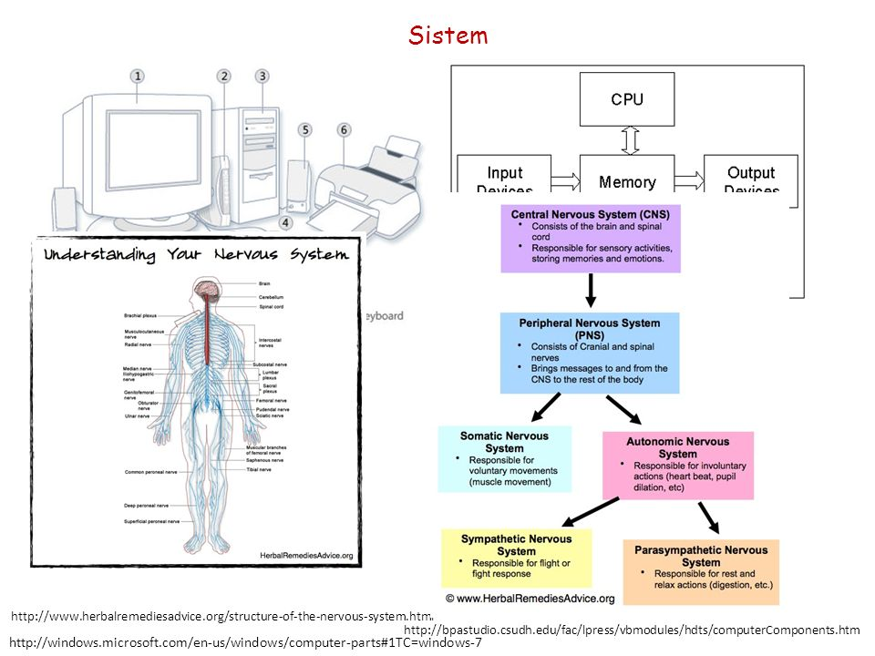 Sistem http://www.herbalremediesadvice.org/structure-of-the-nervous-system.html.