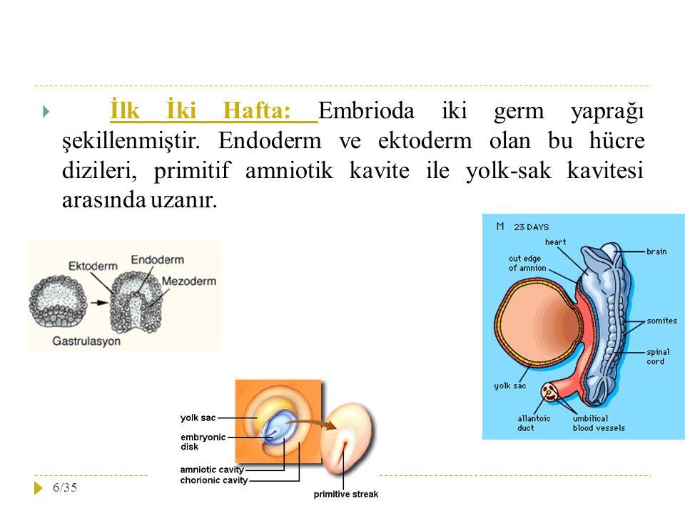 İlk İki Hafta: Embrioda iki germ yaprağı şekillenmiştir