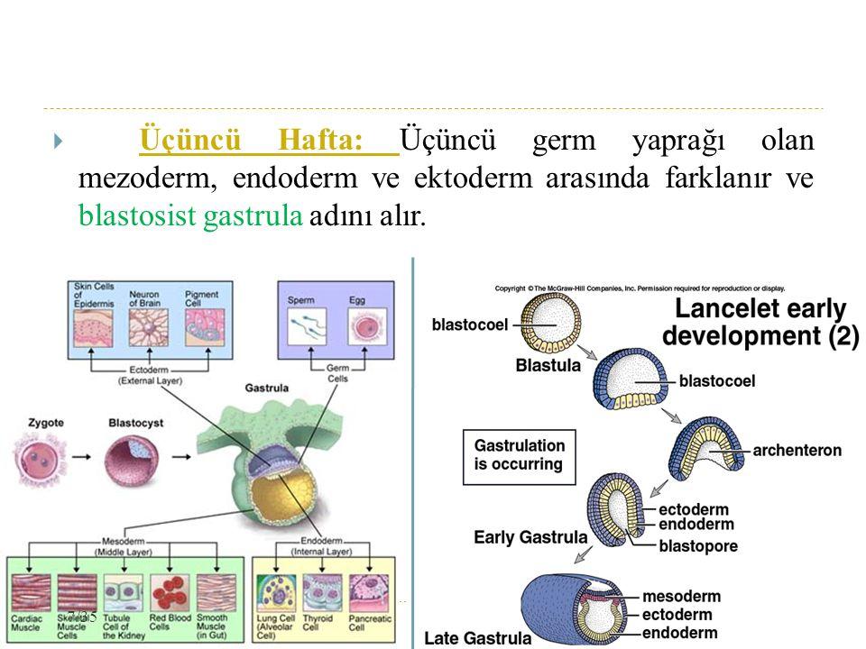 Üçüncü Hafta: Üçüncü germ yaprağı olan mezoderm, endoderm ve ektoderm arasında farklanır ve blastosist gastrula adını alır.