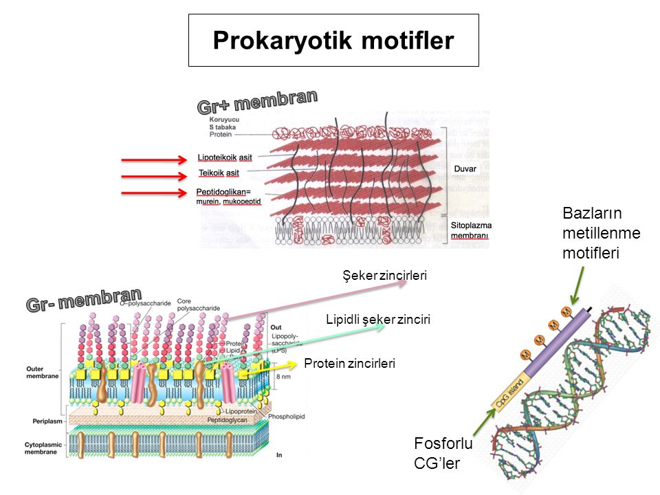 Prokaryotik motifler Gr+ membran Gr- membran