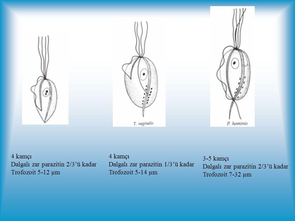 4 kamçı Dalgalı zar parazitin 2/3'ü kadar. Trofozoit 5-12 µm. 4 kamçı. Dalgalı zar parazitin 1/3'ü kadar.