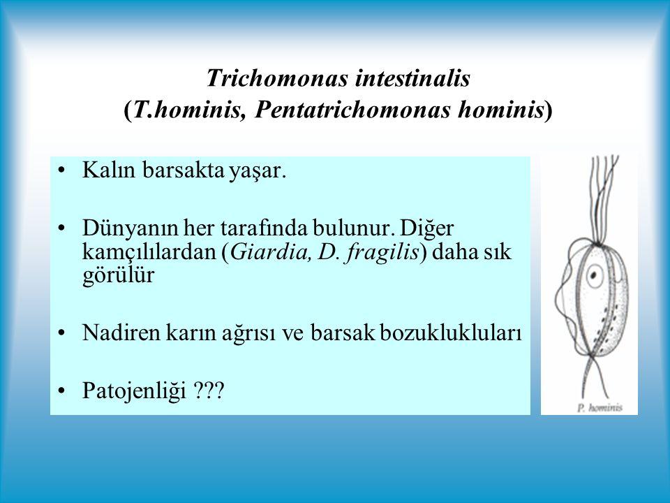 Trichomonas intestinalis (T.hominis, Pentatrichomonas hominis)