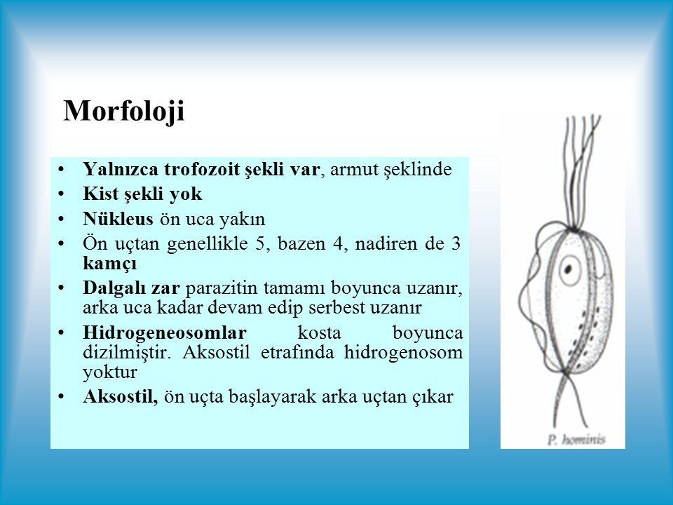 Morfoloji Yalnızca trofozoit şekli var, armut şeklinde Kist şekli yok