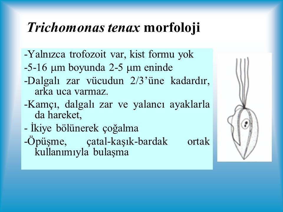 Trichomonas tenax morfoloji