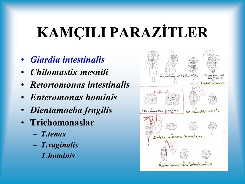 KAMÇILI PARAZİTLER Giardia intestinalis Chilomastix mesnili
