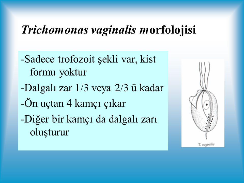 Trichomonas vaginalis morfolojisi