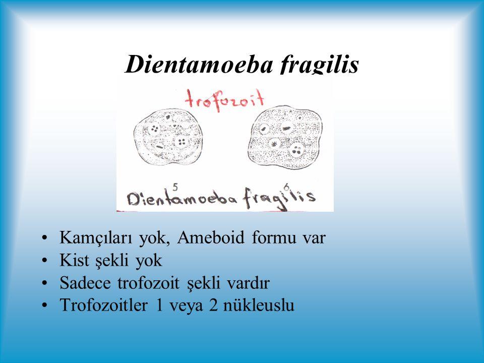 Dientamoeba fragilis Kamçıları yok, Ameboid formu var Kist şekli yok
