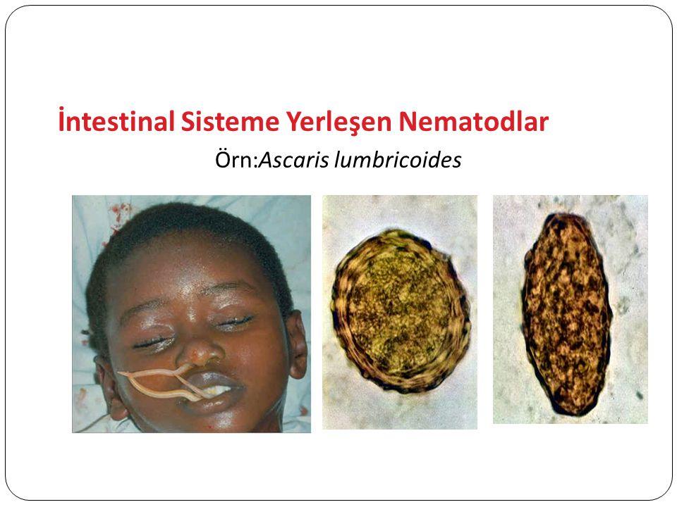 Örn:Ascaris lumbricoides