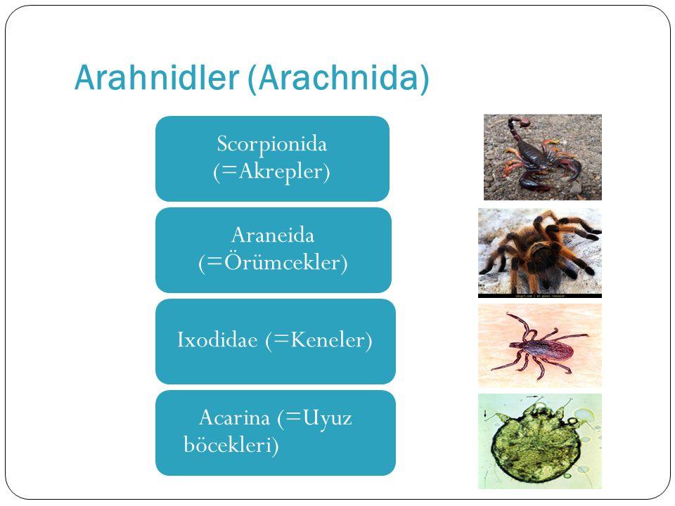 Arahnidler (Arachnida)