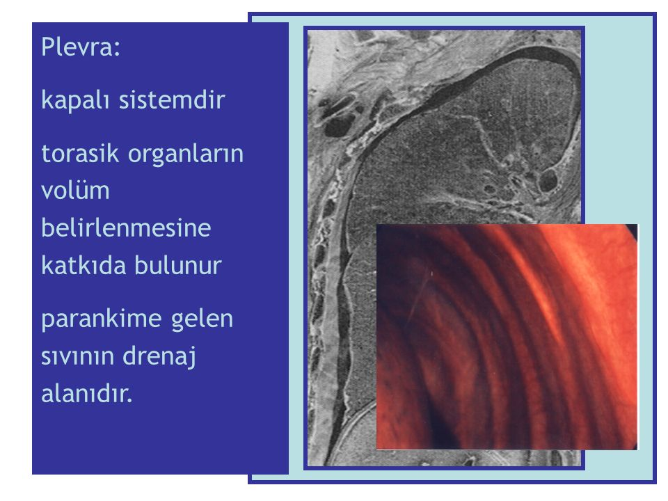 Plevra: kapalı sistemdir. torasik organların volüm belirlenmesine katkıda bulunur.