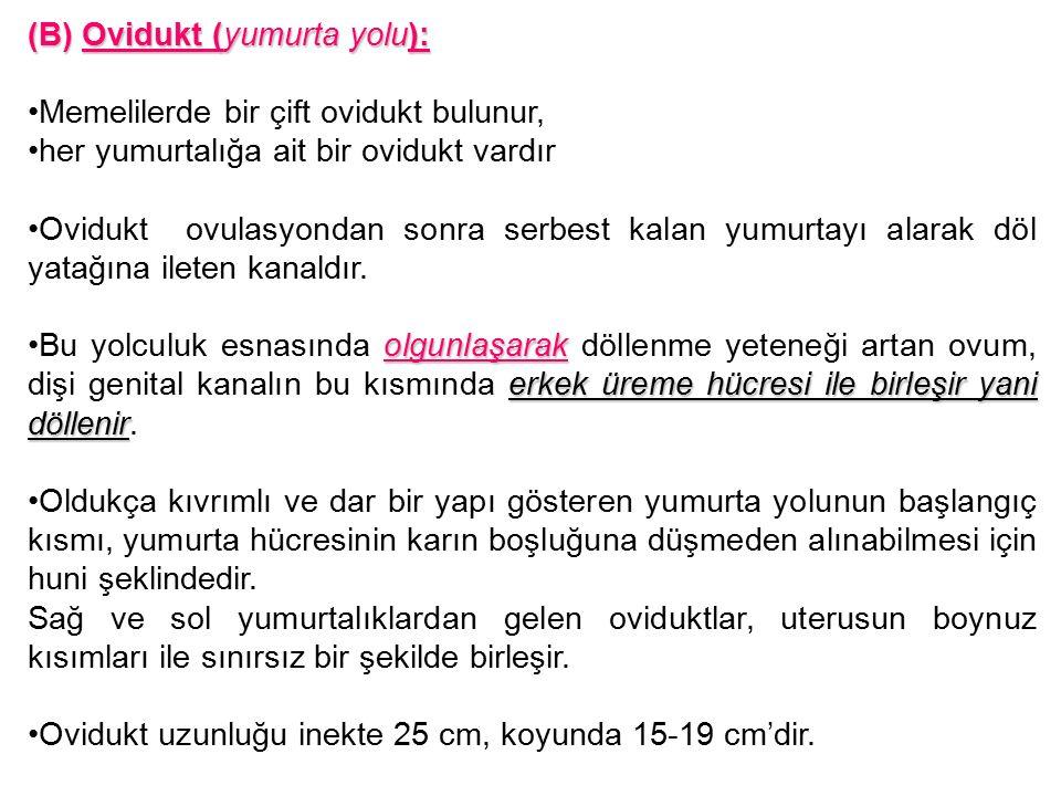(B) Ovidukt (yumurta yolu):