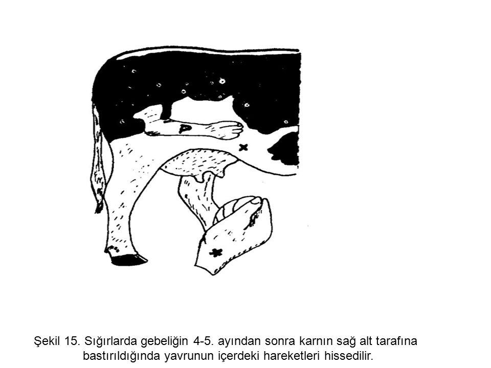 Şekil 15. Sığırlarda gebeliğin 4-5