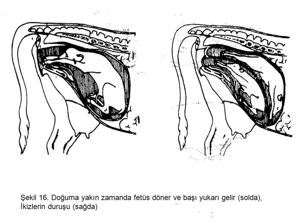 Şekil 16. Doğuma yakın zamanda fetüs döner ve başı yukarı gelir (solda), İkizlerin duruşu (sağda)