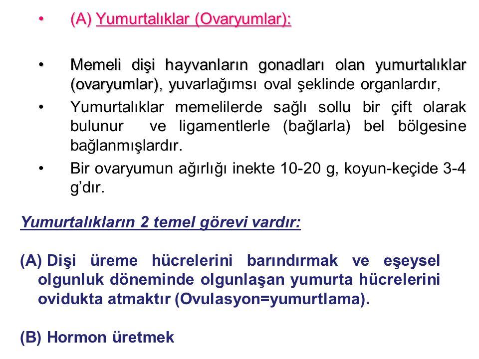 (A) Yumurtalıklar (Ovaryumlar):