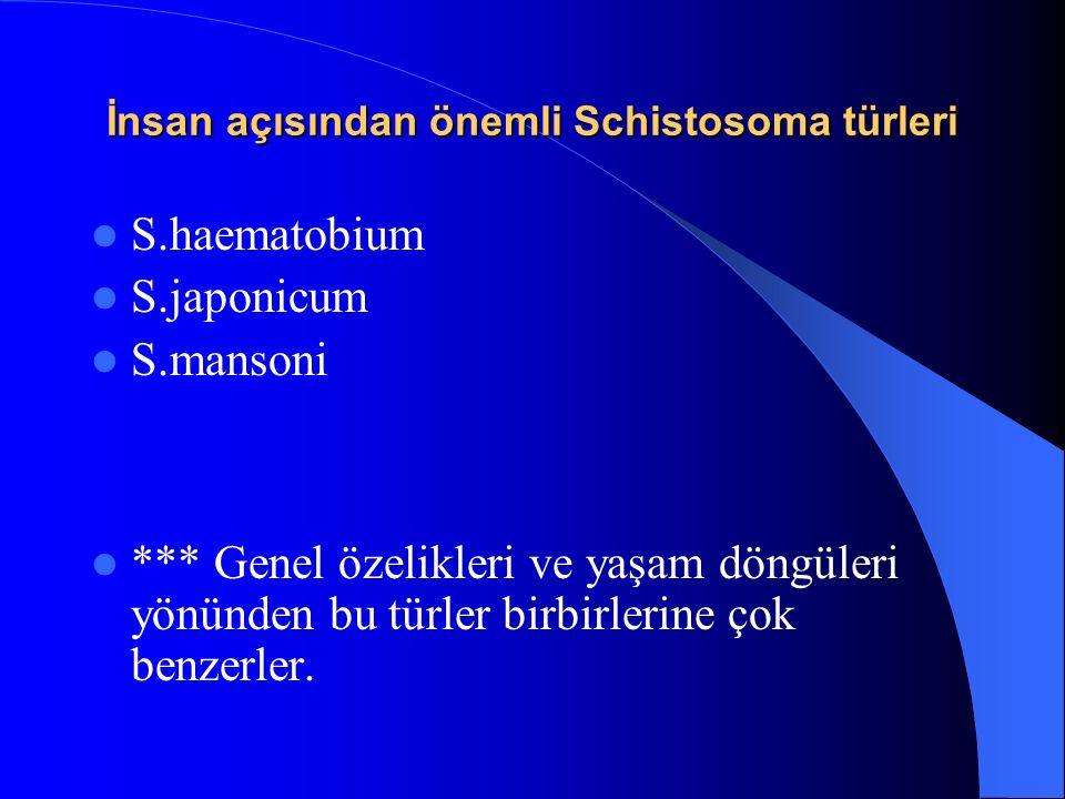 İnsan açısından önemli Schistosoma türleri