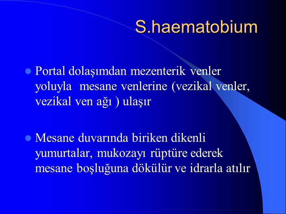 S.haematobium Portal dolaşımdan mezenterik venler yoluyla mesane venlerine (vezikal venler, vezikal ven ağı ) ulaşır.