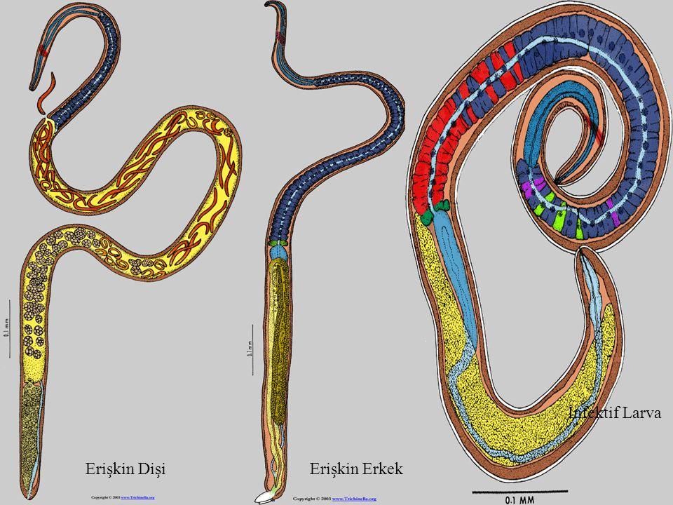 İnfektif Larva Erişkin Dişi Erişkin Erkek