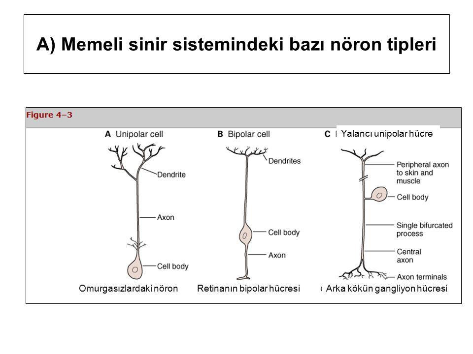 A) Memeli sinir sistemindeki bazı nöron tipleri